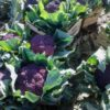 Raccolta dei Cavolfiori Viola