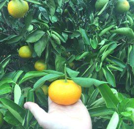 Mandarini Primosole raccolta
